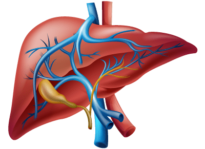 How the Liver Functions with Arteries