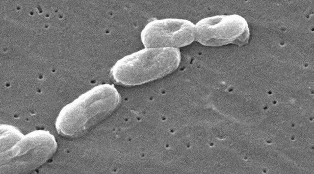Microscopic view of the Burkholderia cepacia bacteria