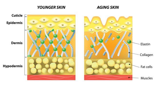 younger skin vs. aging skin