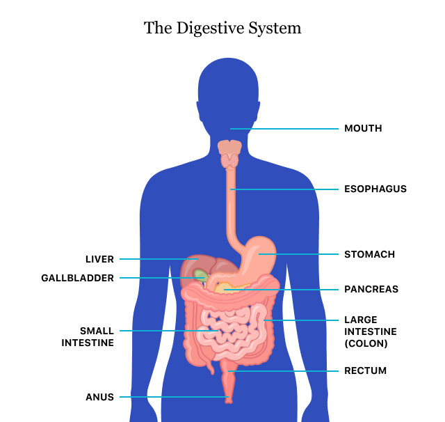 Digestive Health Digestive Diseases Tips For A Healthy Gut