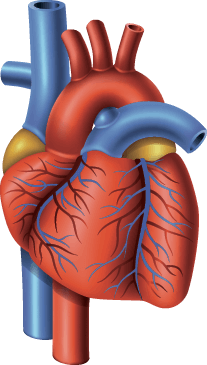 Diagram of the Heart with Valves