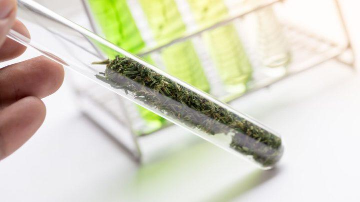 cannabis being analyzed in lab