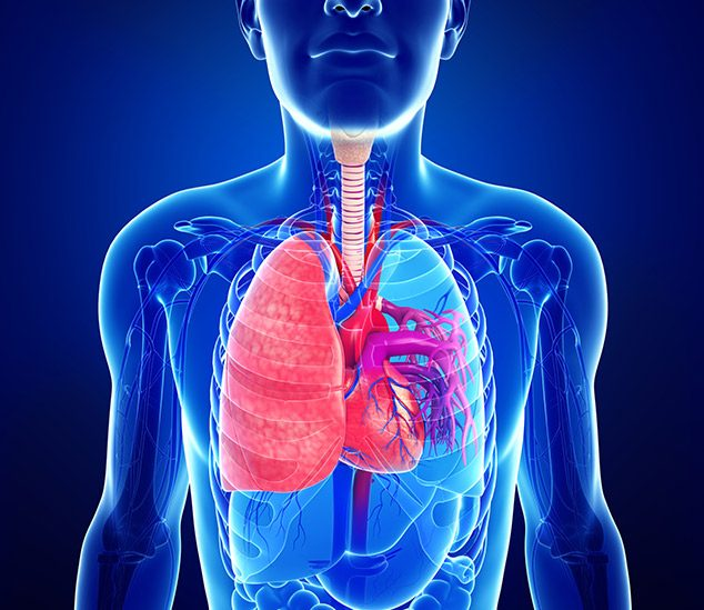 Male lung and heart anatomy