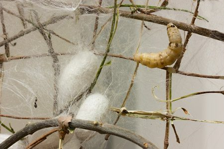 Process showing how silk is created