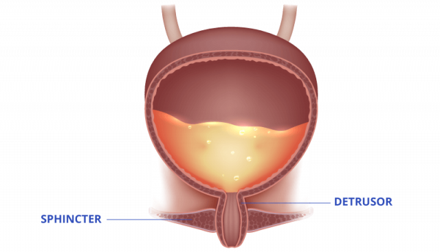 Diagram of the sphincter and detrusor controlling urination