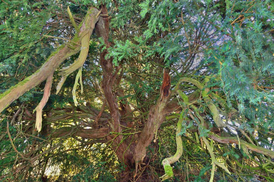 Pacific Yew Tree