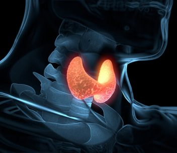 Illustration of the thyroid